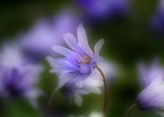 nobre florzinha lilás