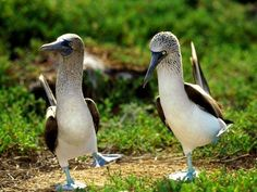 Global Gallery 'Blue-Footed Booby Pair in Courtship Dance, Galapagos Islands, Ecuador' Framed Photographic Print Size: Animal Captions, Funny Animal Memes, Funny Animals, Cute Animals, Animal Funnies, Bird Pictures, Animal Pictures, Birds Photos, Wall Photos