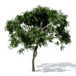 Curry Leaf Tree at xfrog.com