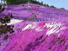 Pink Gardens, Shiba Sakura, Japan (Hokkaido)...they are everywhere