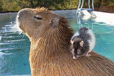 capivara com outros animais (3)