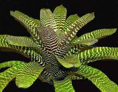 VRIESEA HIEROGLYPHICA – native to Brazil,Atlantic rainforest endemic