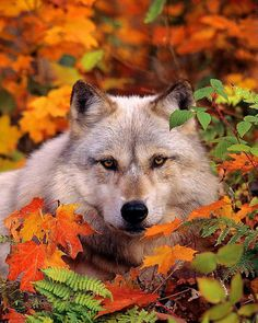 Gray Timber Wolf in Fall Leaves No. 2, 11x14 Wildlife Photography, Animal Photograph, Nature Photo, North Woods, Autumn Foliage, Wolves