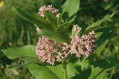 Click to view full-size photo of Common Milkweed (Asclepias syriaca) at Lakeshore Garden Centres