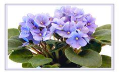 Violet in a 6 Inch Pot Soil Level, House Plants, Rose, Fertilizer Schedule, Garden, Shallow Pots, Potting Soil, Garden Beds, African Violets