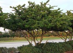 Love this ligustrum tree, I think we have a shrub in our backyard that could look like this