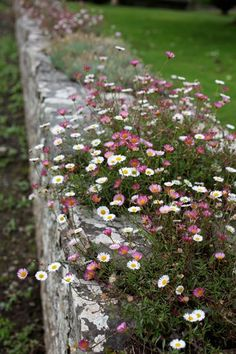 Erigeron karvinskianus 'Profusion'. This flowers for ages and ages and the flowers turn pink as they age so you get the three colours all at once. It will look great tumbling over the sides of the planters.