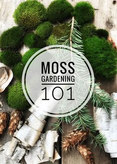 Growing moss is easier than you think and can provide great health benefits. Learn types of moss, and how to grow moss indoors. Container Gardening, Gardening Tips, Organic Gardening, Indoor Gardening, Gardening Vegetables, Garden Terrarium, Garden Plants, Moss Terrarium, House Plants