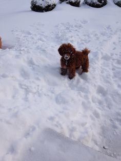 Charlie's first snow! Red Miniature Poodle 5 months