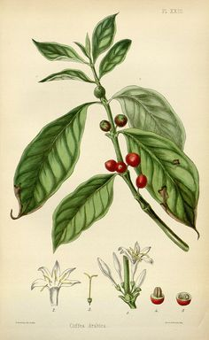Coffee The flora homoeopathica or illustrations and descriptions of the medicinal plants used as homoeopathic remedies 1852 Coffee Drawing, Coffee Painting, Coffee Artwork, Botanical Drawings, Botanical Art, Bar Deco, Coffee Plant, Coffee Coffee, Coffee Snobs