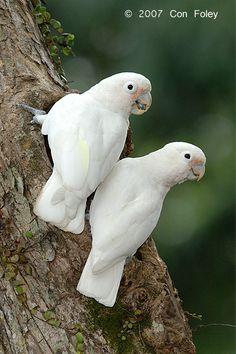 cutie cockatoos