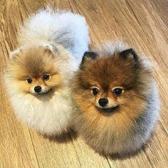 Pomeranian #pomeranian #FluffandStuff