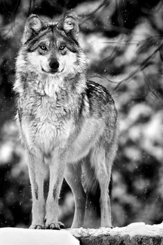 Wolf in snow.....