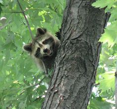Visiting racoon