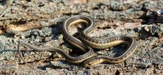 Red-sided Gartersnake, Thamnophis sirtalis parietalis. Photo: Squamatologist.