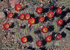 Echinocereus triglochidiatus, cultivated