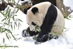 Giant Panda & Snow by Josef Gelernter on Nature Animals, Animals And Pets, Cute Animals, Wild Animals, Panda Love, Red Panda, Animal Pictures, Cute Pictures, Water Deer