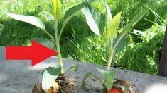 Zabudnutá zelenina lieči psoriázu, diabetes a poznať by ju mali hlavne ženy po 40-tke: Skúste ju namiesto zemiakov a ako bonus aj schudnete! Diabetes, Plants, Plant, Planets