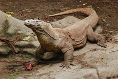 From Komodo dragons to olive oil: The art of diplomatic gift giving - Rock Center with Brian Williams Big Iguana, Green Iguana, Rare Animals, Animals And Pets, Monitor Lizard, Fantasy Dragon, Wild Dogs, Reptiles And Amphibians, Exotic Pets