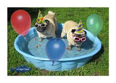 Pug Pool Party