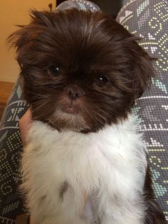 Liver & white Shih tzu 9 week old puppy /// Wookie ///