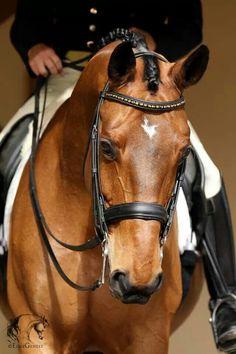 Magnificent horse || equestrian equine cheval pferde caballo | bay dressage