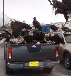 jagiv: I was just explaining to my friends how bald eagles are like pigeons in Alaska. Freedom truck