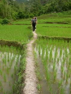 Rice paddies- Chang Mai, Thailand