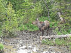 Moose on the side of the road in Jackman Maine.  She was drinking that gross water that  she is standing in.  She posed for me for like 15 minutes.  It was great