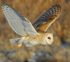 Barn Owl by Paul Higgins