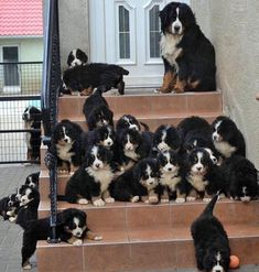 Check out these funny videos of dogs barking and puppies barking. Cute Dogs And Puppies, I Love Dogs, Doggies, Chien Mira, Beautiful Dogs, Animals Beautiful, Cute Baby Animals, Animals And Pets, Burmese Mountain Dogs