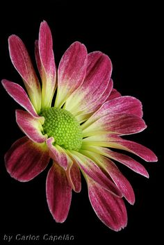 Chrysanthemum Flower - Stunning Photo !