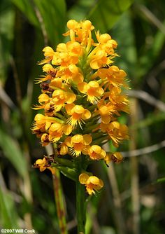 Platanthera Orchids | Platanthera integra (Yellow Fringeless Orchid)