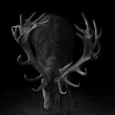 Deer on Black |    Taken in Woburn, Bedfordshire, UK.