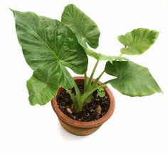 Elephant ear plants are tropical plants grown from tubers or from rooted plants. The 3 to 5foot tall plant is usually grown outdoors, but it is possible to grow elephant ears indoors too. Click here for more info.