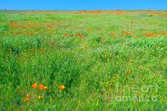 A wildflower meadow near Lancaster, California. The wildflowers seen here are California Poppies (Eschscholzia californica), Fiddleneck (Amsinckia tessellate) and Red Stem Filaree (Erodium cicatarium) interspersed in a vast field of native grasses, all shimmering in early morning light. There is a lot of detail in this image that you cannot see at this size posted here, so please view this at FineArtAmerica.com from where this was pinned.