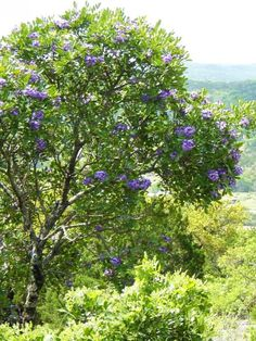 """If there is one Texas native, small growing, flowering tree you can't go wrong with, it's of course a Texas Mountain Laurel. This hard as nails, extremely drought tolerant Texas native (can survive on a partly 14 inches of annual rain) will grace any landscape with its presence. Best of all, its an evergreen! Perfect to conceal that unsightly neighbor of yours or disguise that noisy road near the window. You can train it to a tree form or leave it in a more natural shrubby form."