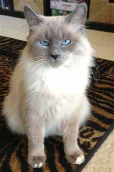 Check out *Daphne*'s profile on AllPaws.com and help her get adopted! *Daphne* is an adorable Cat that needs a new home. https://www.allpaws.com/adopt-a-cat/siamese/1722866?social_ref=pinterest