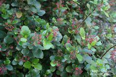 Evergreen Currant, Catalina Perfume - LandscapeResource.com