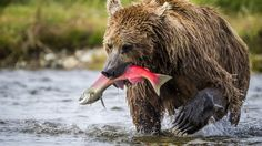 brown bear alaska iphone7 wallpaper download high size variety