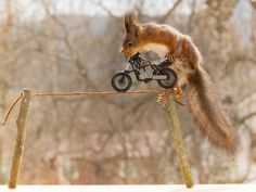 red squirrels with motor, laundry and umbrella and the laundry line by © Geert Weggen