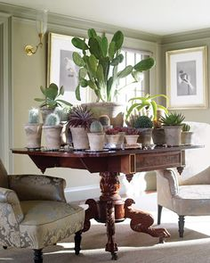 """Nice !   """"Succulents and cacti are kept on an American Empire mahogany table with paw feet. From left are old man cacti, a paddle plant, dyckia, a baseball plant, a notocactus, a tall variegated prickly pear (center), sand rose, chocolate echeveria, a star cactus, a golden star cactus, a dune aloe, a red bearded Irishman, lipstick echeveria, and an uebelmannia.    Read more at Marthastewart.com: Martha's Homes  ..."""""""