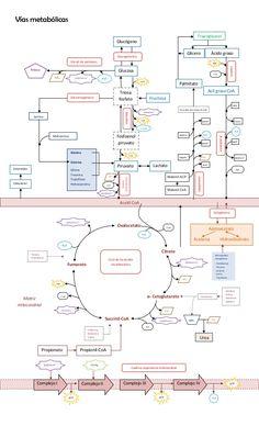 Vías metabólicas Vía de las pentosas Fructosa Lipólisis Triacilglicerol Acetil CoA Glicero l Palmitato Colesterol Esteroid...