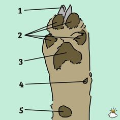a dog paw generally have five parts: the claws (1), digital pads (2), metacarpal (front) and metatarsal (back) pads (3), the dew claw (4), and the carpal pad (5)