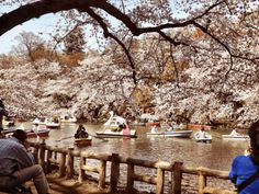 Cherry blossom season in Japan may be beautiful, but it also has some notable downsides! Learn how far in advance to book your trip, where to go, and how to hanami like a local! Cherry Blossom Japan, Cherry Blossom Season, Cherry Blossoms, Beautiful Landscapes, Beautiful Gardens, Japan On A Budget, Tokyo Tour, Blossom Trees, Plan Your Trip