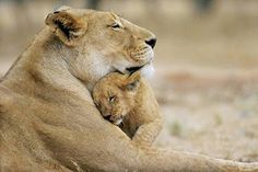 Funny animals with you'll always be my baby lion cub. Funny animals picture with caption. Beautiful Creatures, Animals Beautiful, Beautiful Images, Baby Animals, Funny Animals, Wild Animals, Cut Animals, Animal Babies, Lioness And Cubs