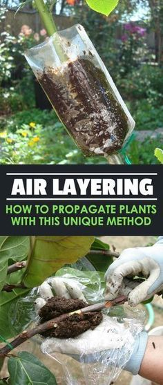 Air Layering: How to Propagate Plants With This Unique Method When it comes to propagation, our minds jump to cuttings or seeds. But what about air layering? It& unique, easy, and effective for plants with large stems. Grafting Plants, Air Layering, Organic Gardening Tips, Vegetable Gardening, Plant Cuttings, Fruit Trees, Container Gardening, Garden Plants, Outdoor Gardens