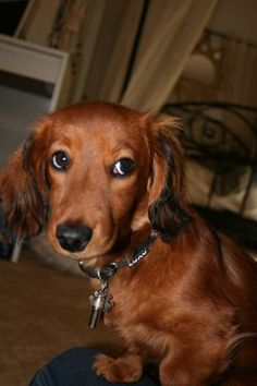 I want a Longhaired Daschund!! So adorable!