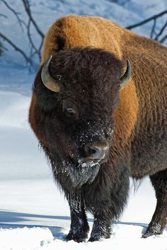 Bison in Yellowstone National Park, Wyoming. This is where the largest amount of Bison you will find in the USA. Large Animals, Animals And Pets, Cute Animals, Majestic Animals, Animals Beautiful, Buffalo Animal, Mundo Animal, Animals Of The World, Fauna