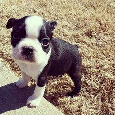 Baby Boston Terriers, Boston Bull Terrier, Terrier Puppies, Cute Puppies, Dogs And Puppies, Cute Dogs, Boxer Dogs, Boxers, Baby Animals